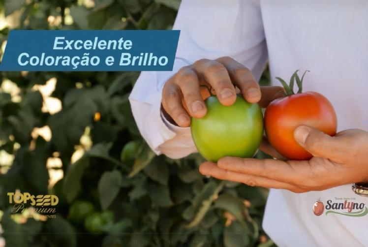 VÍDEO - LANÇAMENTO - Conheça melhor o novo tomate santa Cruz Santyno F1