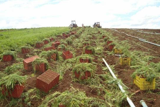 Cenoura h�brida de inverno Melissa conquista produtores da regi�o Sul