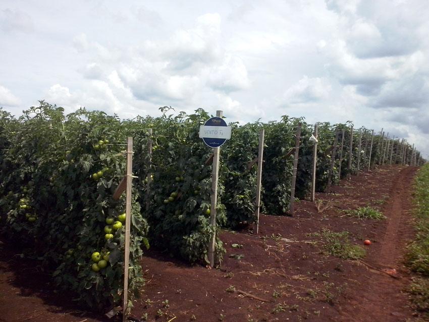 Visita técnica e palestra sobre Tomate híbrido Vento F1 em Reserva (PR)