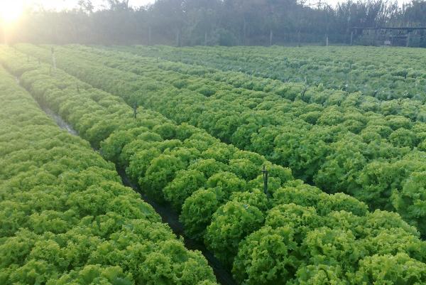 Alface: semeio de verão se aproxima e os desafios para o produtor aumentam