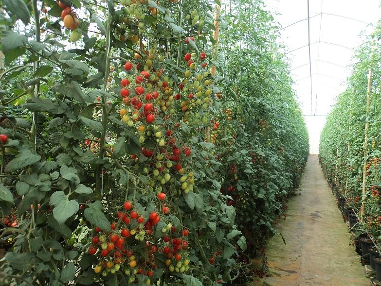 Brix e alta produtividade-Tendência na tomaticultura