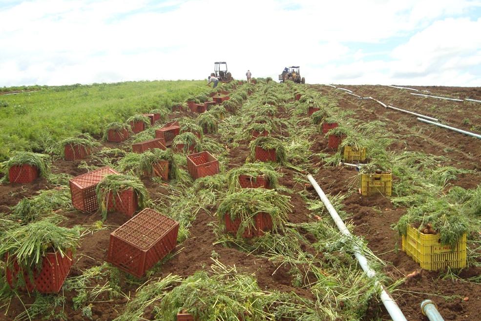 Cenoura híbrida de inverno conquista produtores da região Sul