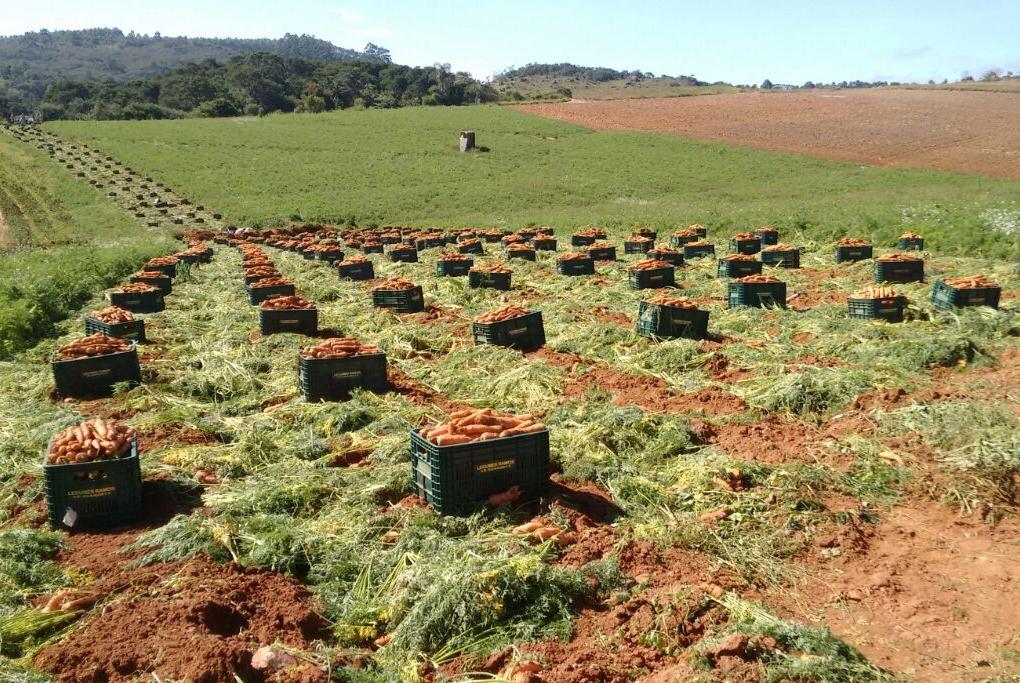 Cenouras de Verão AGR123 e AGR125 trazem mais produtividade ao agricultor