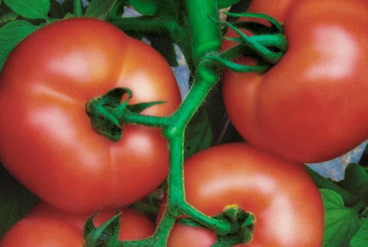 Curva de absorção do tomate Dominador F1