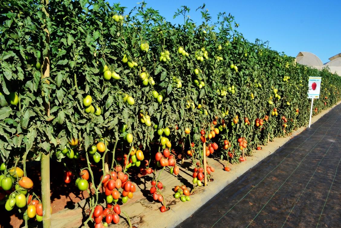 Curva de absorção do Tomate Parma