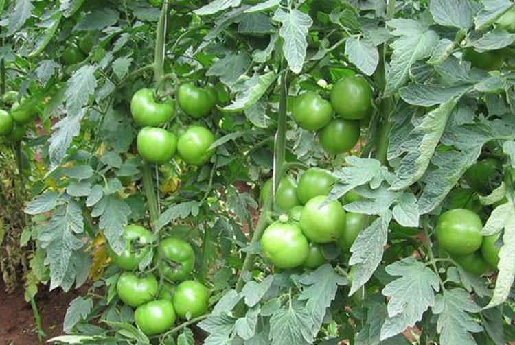 Curva de absorção do tomate Serato F1