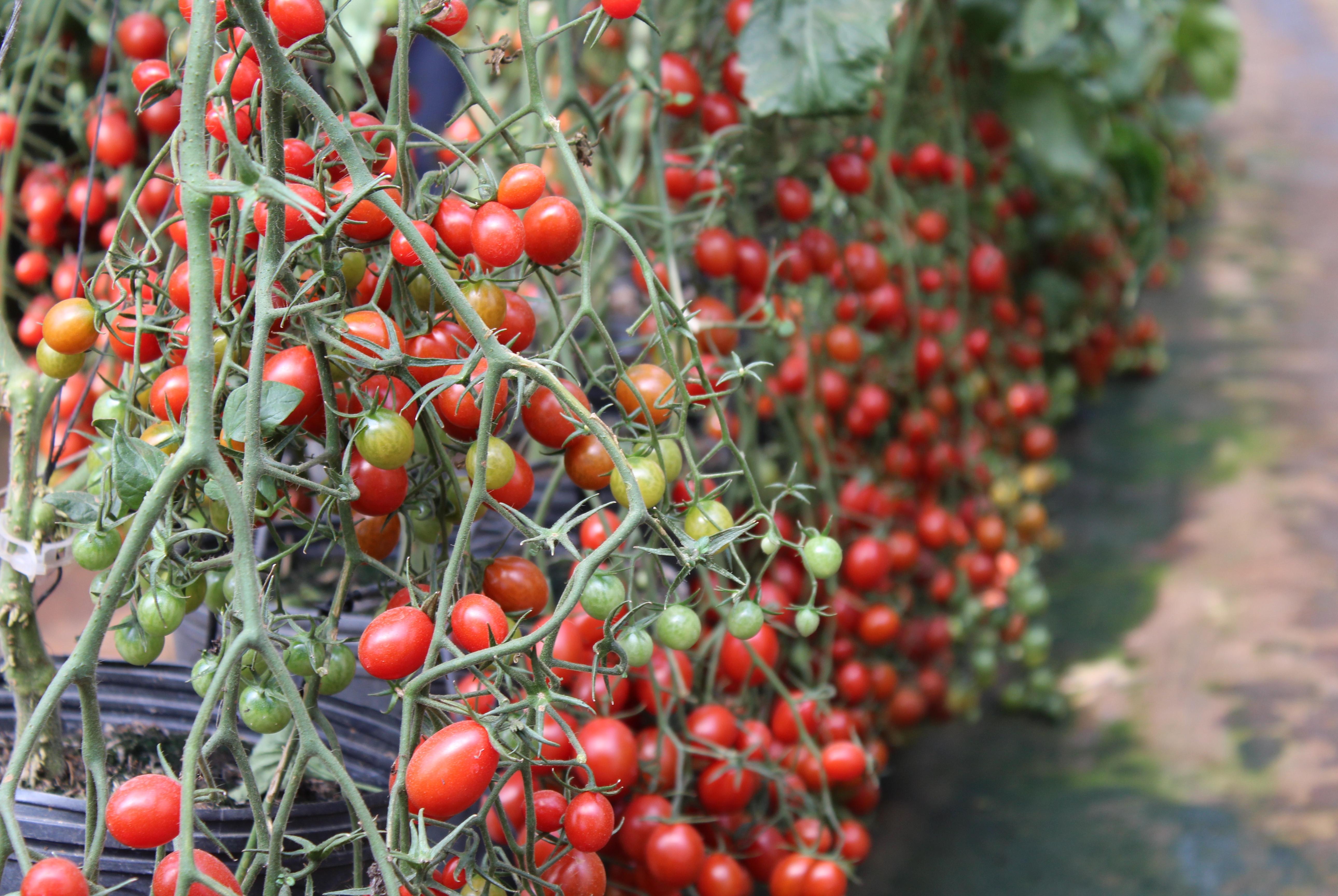Topseed Garden lança o tomate grape Red Sugar