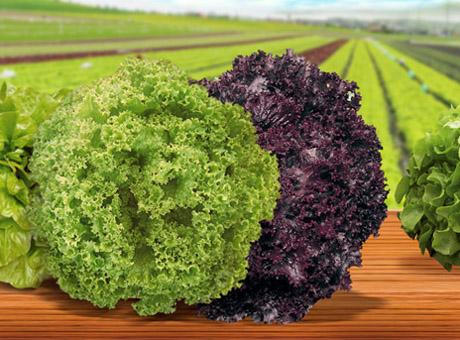 Linha de alfaces oferece diversidade em cores, formatos, texturas e sabores