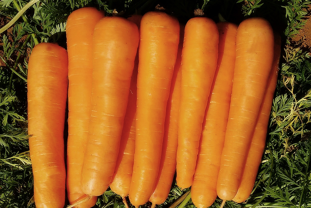 Melhoramento genético de cenouras traz mais produtividade e atende às exigências do consumidor