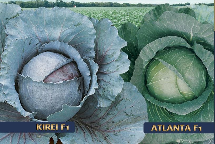 Repolhos Kirei e Atlanta oferecem vantagens ao agricultor
