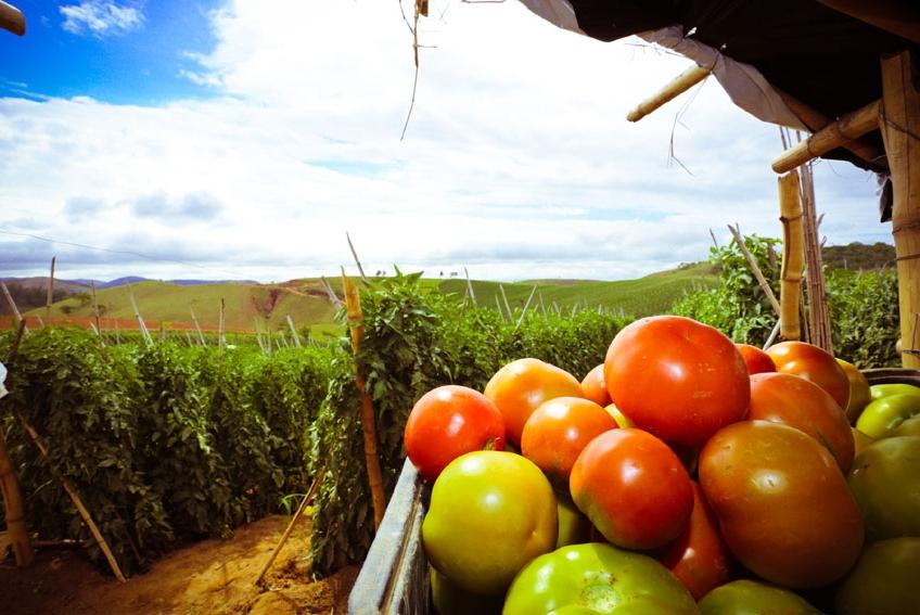 Tomate Serato F1 mostra potencial para o cultivo em estufa
