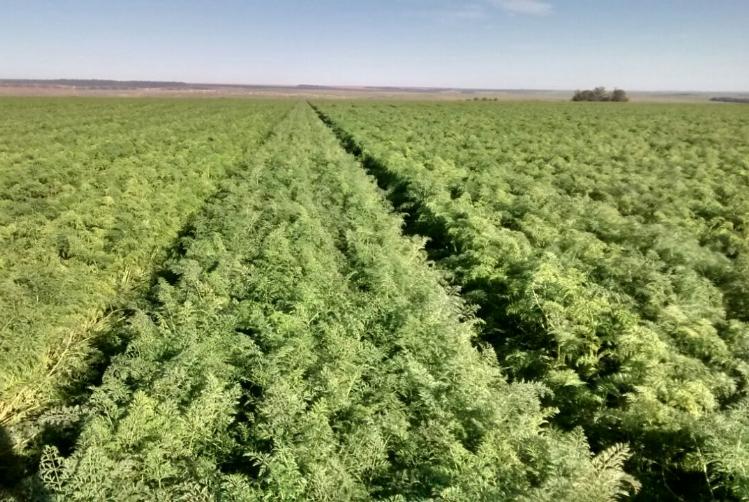Palestra na Esalq aborda cultivo de cenoura