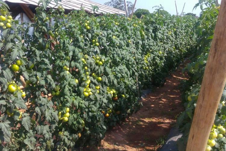 Produtores aprovam firmeza e durabilidade do tomate Itaipava