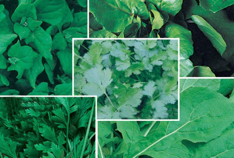 Sementes de variedades para ma�aria da Superseed recebem melhoramento constante.