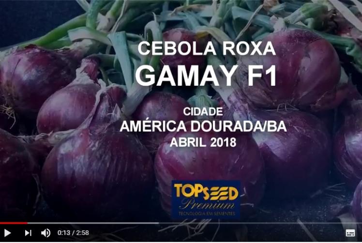 VÍDEO - CEBOLA GAMAY - AMÉRICA DOURADA/BA